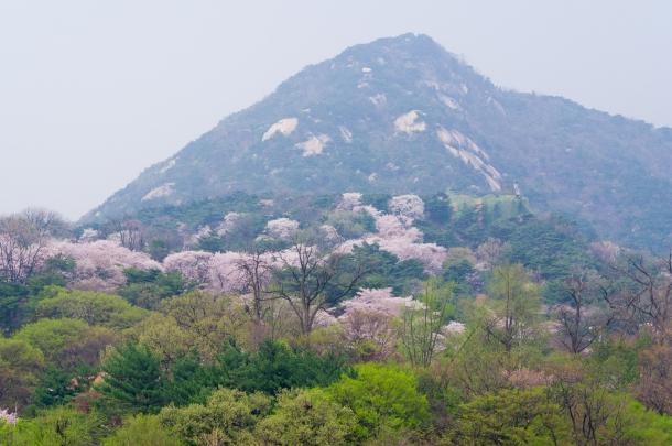Cherry Blossom Mountains